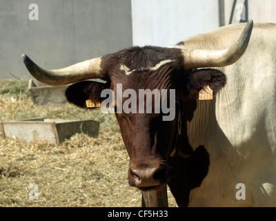 wild bulls in San fermin Pamplona - Stock Photo