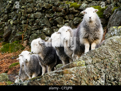 A flock of sheep by a drystone wall in the Lake District. - Stock Photo