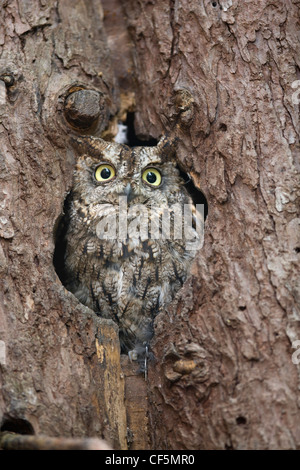 Owl camouflaged and sitting in a hole in an old tree trunk - Stock Photo