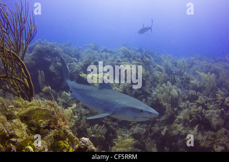 Satellite Tagged Tiger Shark on the Reef - Stock Photo