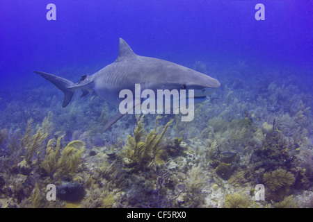Tiger Shark on the Reef - Stock Photo