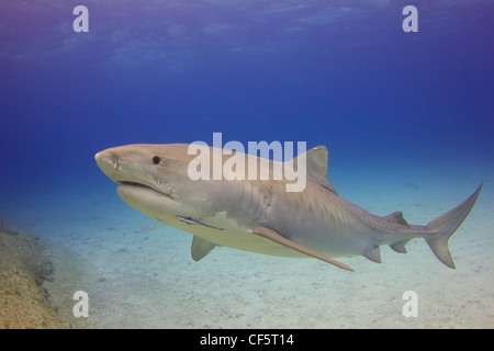 Emma the Tiger Shark on a Shallow Reef - Stock Photo