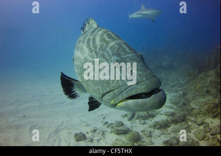 Max the Black Grouper on the Reef - Stock Photo