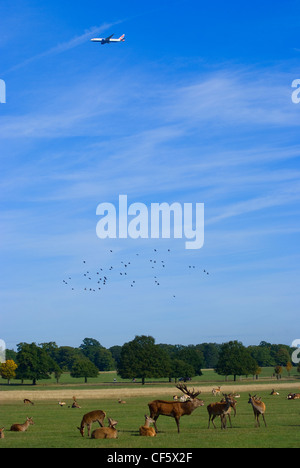 A plane flying over a herd of red deer in Richmond Park during the autumn rutting season. Richmond Park is the largest - Stock Photo