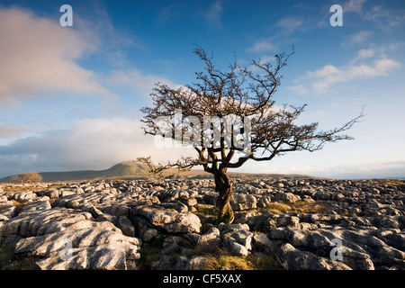 Twisted and withered tree growing through limestone pavement on the slopes of Whernside. At 2,414 ft, Whernside - Stock Photo