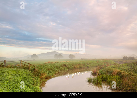 Low lying mist over a flock of Swans on the River Brue at sunrise with Glastonbury Tor in the distance. - Stock Photo