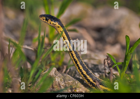 A male garter snake extends it's body up to look for a female in early spring - Stock Photo