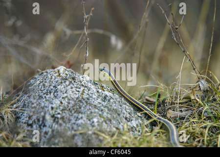 A single male garter snake looking for a female in early spring - Stock Photo