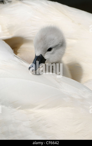 Mute Swan (Cygnus Olor) cygnet on mother's back at Abbotsbury Swannery. - Stock Photo
