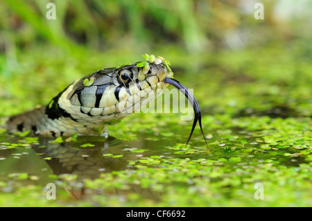A Grass Snake (Natrix Natrix)  in water. - Stock Photo