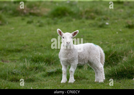 A Lamb Standing On The Grass; Northumberland England - Stock Photo