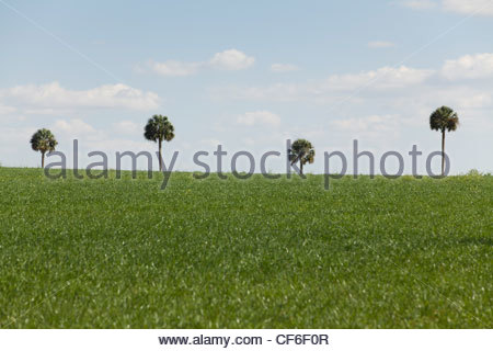 Palm Trees, Central Florida - Stock Photo