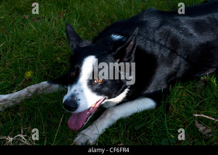 Black & white welsh sheepdog lying in the grass waiting to work - Stock Photo