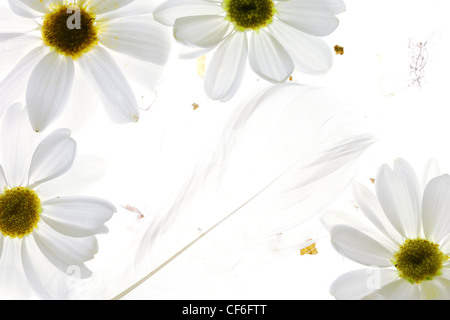White daisy petals with feather on white background - Stock Photo
