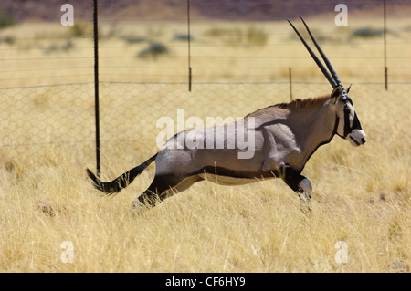 A running gemsbok (Oryx gazella) near the fence of a game farm. Namib Desert. Namibia - Stock Photo