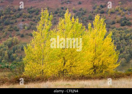 Glen Lyon, Perth and Kinross, Scotland. Silver birch trees (Betula pendula) on hillside, autumn. - Stock Photo