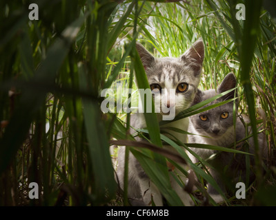 Two Kittens Peering Through Tall Grass; Beaverhill Lake Alberta Canada - Stock Photo