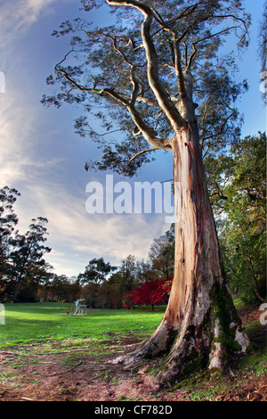 Beautiful tree towers above the grounds of Mount Stewart, Northern Ireland. - Stock Photo