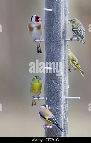 Siskin and Goldfinch - on niger seed feeder Carduelis spinus & Carduelis carduelis Hampshire, UK BI022283 - Stock Photo