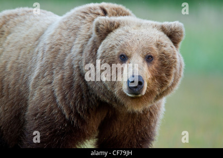 Alaskan brown bear adult female - Stock Photo