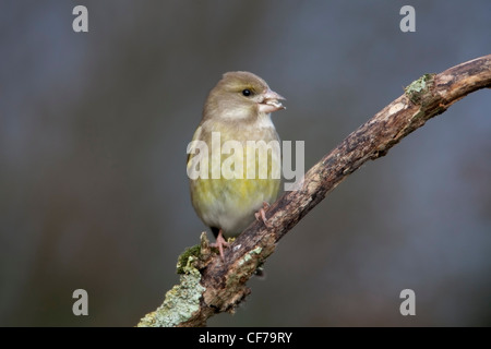 European Greenfinch Carduelis chloris adult female perched on a Lichen coverered twig. - Stock Photo