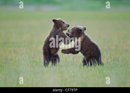 Alaskan brown bear cubs playing - Stock Photo