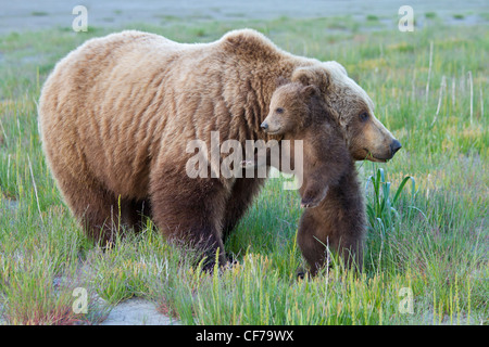 Alaskan brown bear sow with cub during summer - Stock Photo