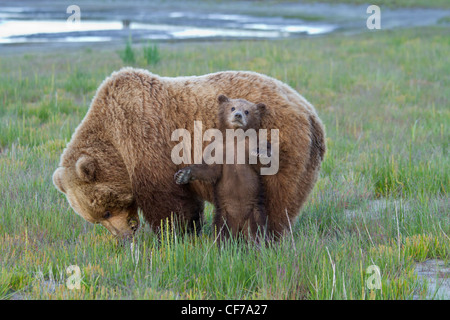 Alaskan brown bear mother with cub in Lake Clark National Park - Stock Photo