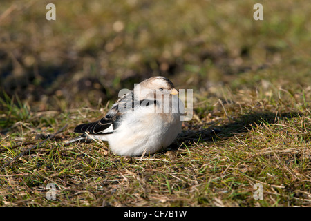 Snow Bunting Plectrophenax nivalis adult male in breeding plumage on the ground - Stock Photo