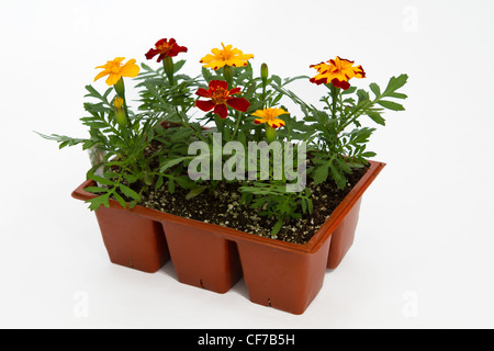 A commercial nursery's  jumbo or 6 pack of marigolds isolated on a white background. - Stock Photo