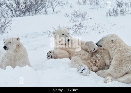 Three young Polar Bears, Ursus maritimus, hanging around together, Wapusk National Park, near Hudson Churchill, - Stock Photo
