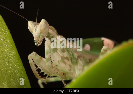 Portrait of an Indian Flower Praying Mantis - Stock Photo