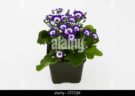 A commercial nursery 4 inch growing container filled with cinneraria flowers isolated on white background. - Stock Photo