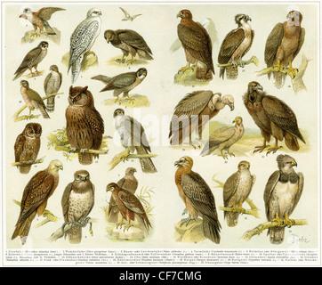 Various birds of prey. Publication of the book 'Meyers Konversations-Lexikon', Volume 7, Leipzig, Germany, 1910 - Stock Photo