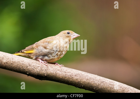Juvenile Greenwich sitting on a branch in an English country garden. - Stock Photo