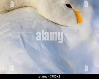 Whooper Swan resting, WWT London Wetland Centre, UK - Stock Photo