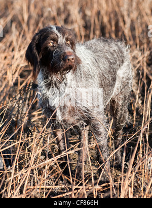 A German Wired Haired Pointer dog stood in a field - Stock Photo