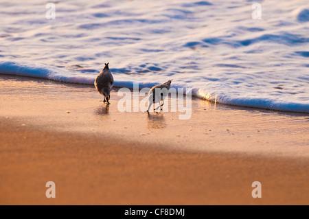 Sanderlings-'Hunakai' in Hawaiian language (Calidris alba), Polihale Beach, Kauai, Hawaii - Stock Photo