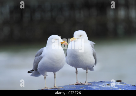 Two Herring sea gull gulls seagulls seagull  with Eastbourne Pier in the background, East Sussex, England. - Stock Photo