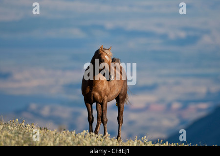 Wild horse or mustang in Montana - Stock Photo