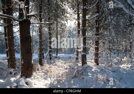 snowy woodland scene - Stock Photo