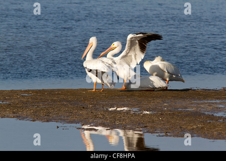 American White pelicans (Pelecanus erythrorhynchos) on a mud flat (Ding Darling Wildlife Refuge) - Stock Photo
