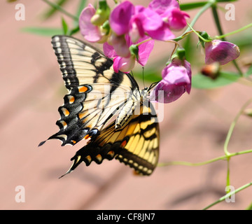a yellow butterfly on sweet peas flowers - Stock Photo