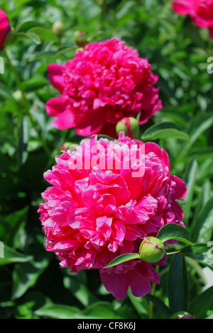 Photo of red peonies in the summer in a garden - Stock Photo