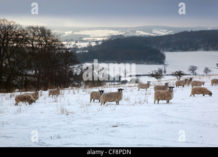 Sheep in Snow Ivinghoe Chiltern Hills  Bucks - Stock Photo