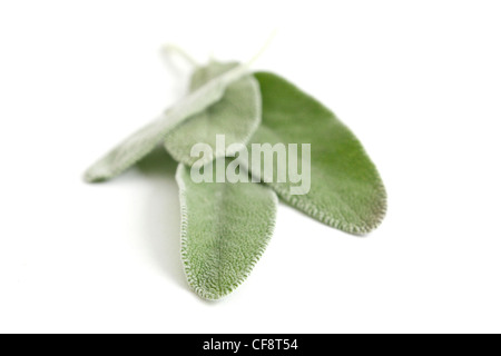Sage on an isolated background - Stock Photo