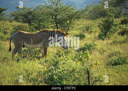 The African Zebra is also known as Grevy's Zebra or the Imperial Zebra. They roam the grasslands of the Rift Valley. - Stock Photo