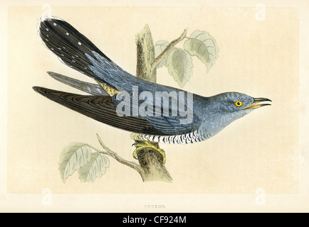 Vintage print of a Common Cuckoo (Cuculus canorus)  is a member of the cuckoo order of birds, Cuculiformes. - Stock Photo