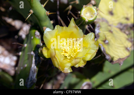 Close-up of a Prickly Pear (Opuntia robusta) flower. - Stock Photo