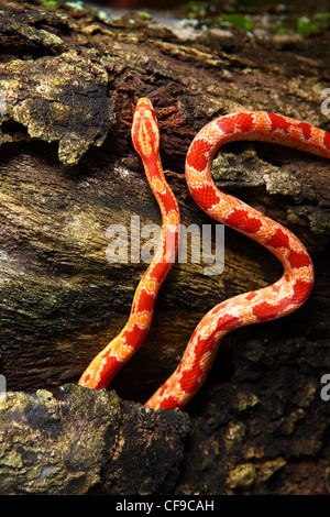 baby corn snake - Stock Photo